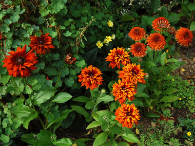 Rudbeckia hirta 'Cherokee Sunset' - medium image 2