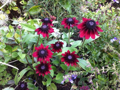 Rudbeckia hirta 'Cherry Brandy' - medium image 2