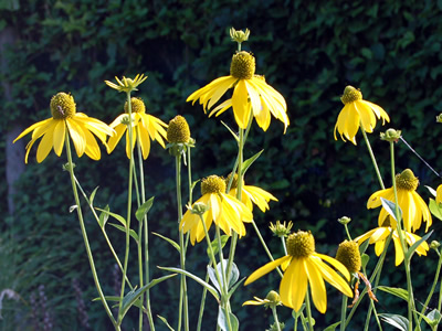 Rudbeckia laciniata - medium image 2