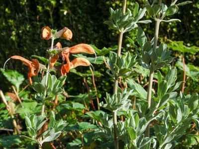 Salvia africana-lutea - medium image 2