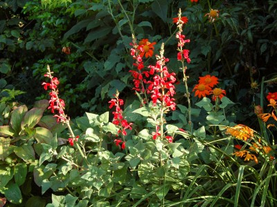 Salvia darcyii - medium image 2