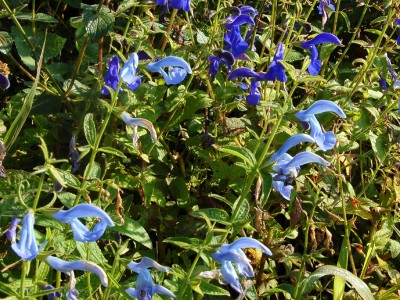 Salvia patens 'Cambridge Blue' - medium image 2