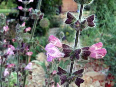 Salvia recognita - medium image 2