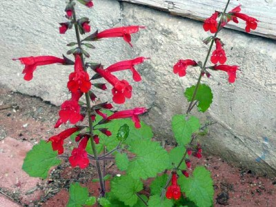 Salvia roemeriana - medium image 2