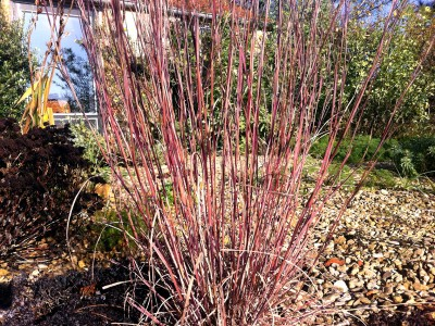 Schizachrium scoparium 'Prairie Blues' - medium image 2