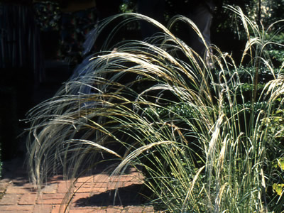 Stipa barbata - medium image 2