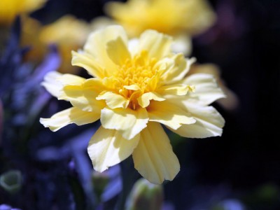 Tagetes 'Alumia Vanilla Cream' - medium image 2