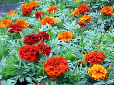 Tagetes 'Fireball' - medium image 2