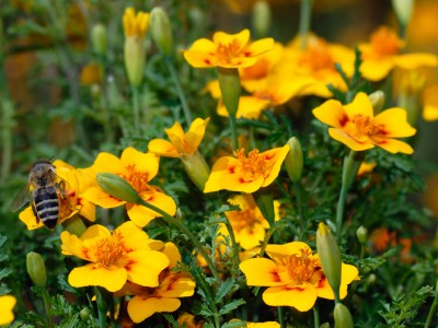 Tagetes lucida - medium image 2
