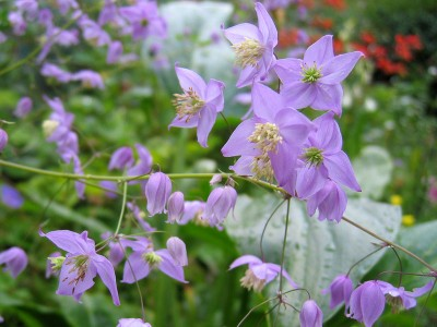 Thalictrum delavayi var. 'Decorum' - medium image 2