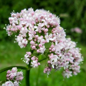 Valeriana officinalis - medium image 2
