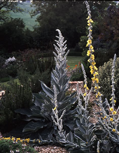 Verbascum bombyciferum 'Polar Summer' - medium image 2