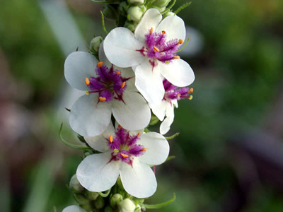 Verbascum chaixii 'Album' - medium image 2
