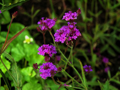 Verbena rigida - medium image 2