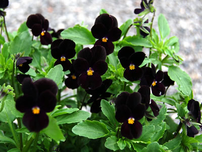 Viola 'Bowle's Black' - medium image 2