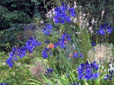 Agapanthus short dark blue Headbourne hybrids - medium image 3