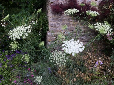 Ammi majus - medium image 3