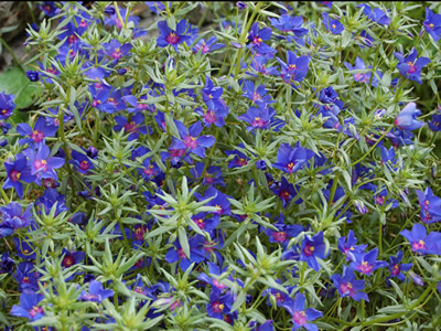 Anagallis monellii 'Blue Light' - medium image 3
