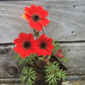 Anemone pavonina red - medium image 3