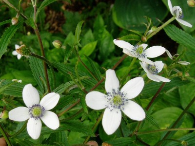 Anemone rivularis - medium image 3