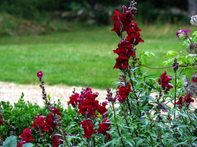 Antirrhinum 'Black Prince' - medium image 3