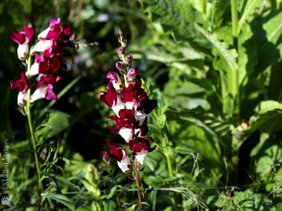 Antirrhinum 'Night & Day' - medium image 3