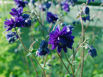 Aquilegia 'Blue Barlow' - medium image 3