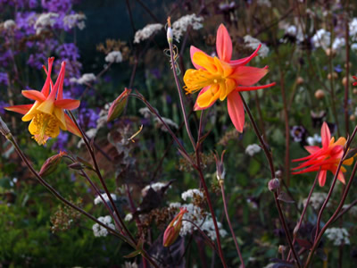 Aquilegia 'Tequila Sunrise' - medium image 3