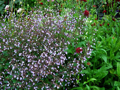 Calamintha nepeta 'Blue Cloud' - medium image 3