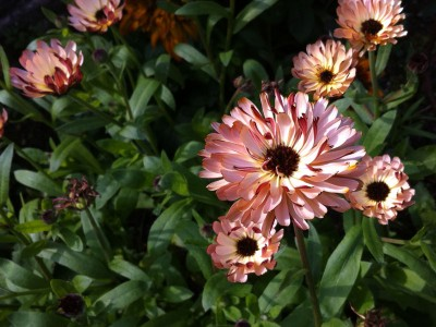 Calendula 'Bronze Beauty' - medium image 3