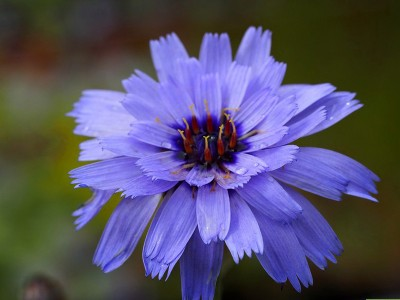 Catananche caerulea - medium image 3
