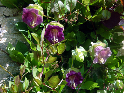 Cobaea scandens - medium image 3