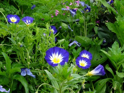 Convolvulus tricolor 'Blue Ensign' AGM - medium image 3