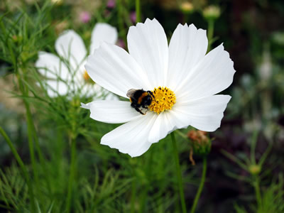 Cosmos bipinnatus 'Purity' - medium image 3