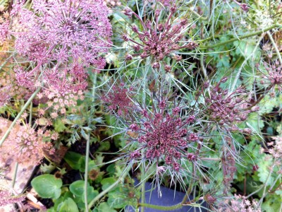 Daucus carota 'Black Knight' - medium image 3