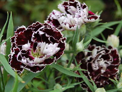 Dianthus chinensis 'Black and White' - medium image 3