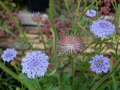 Didiscus coerulea 'Blue Lace' - medium image 3