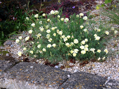 Eschscholzia californica 'Alba' - medium image 3
