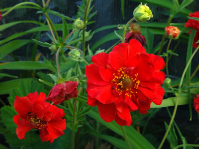 Geum 'Blazing Sunset' - medium image 3
