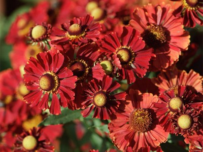 Helenium autumnale 'Helena Red Shades' - medium image 3