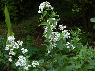 Hesperis matronalis 'Alba' - medium image 3