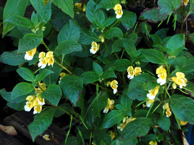 Impatiens scabrida - medium image 3