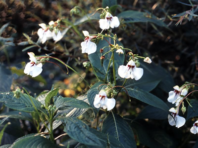 Impatiens tinctoria - medium image 3