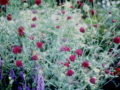 Knautia macedonica - medium image 3