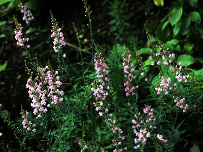 Linaria purpurea 'Canon Went' - medium image 3