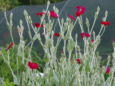 Lychnis coronaria 'Blood Red' - medium image 3