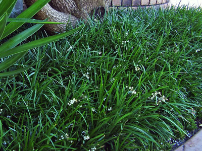 Ophiopogon planiscapus - medium image 3