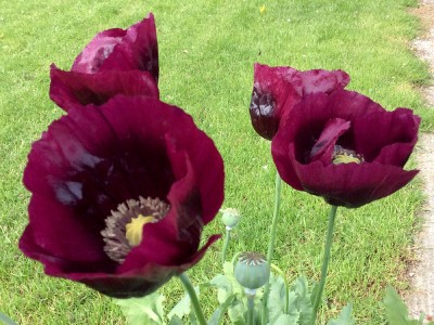 Papaver somniferum 'Laurens Grape' - medium image 3