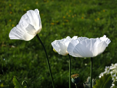 Papaver somniferum single white - medium image 3