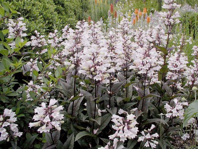 Penstemon digitalis 'Huskers Red' - medium image 3